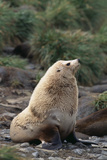 Antarctic Fur Seal Photographic Print by  DLILLC