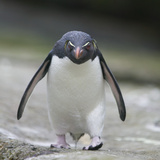 Rockhopper Penguin Walking with Head Down Photographic Print by  DLILLC