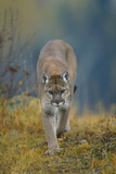 Cougar Photographic Print by  DLILLC