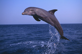 Bottlenosed Dolphin Leaping Photographic Print by  DLILLC