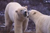 Polar Bears Fighting Photographic Print by  DLILLC