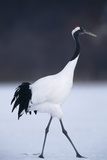 Red-Crowned Crane Walking on Snow Photographic Print by  DLILLC
