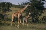 Masai Giraffe and Calf Walking Photographic Print by  DLILLC