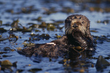 Sea Otter Floating in Kelp Photographic Print by  DLILLC
