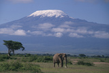 African Elephant Standing in Front of Mt. Kilimanjaro Reproduction photographique par  DLILLC