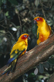Sun Parakeets on Branch Reproduction photographique par  DLILLC