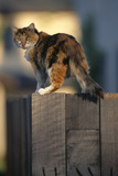 Calico Cat on Wooden Fence Photographic Print by  DLILLC