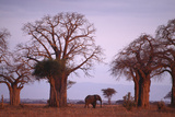 Elephant among Trees Photographic Print by  DLILLC