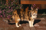 Calico Cat Outside Photographic Print by  DLILLC