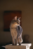 Abyssinian Blue Cat on Pedestal Photographic Print by  DLILLC