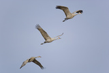 Sandhill Cranes Flying Photographic Print by  DLILLC