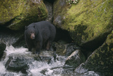 Black Bear in Stream Photographic Print by  DLILLC