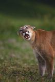 Snarling Cougar Photographic Print by  DLILLC