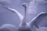 Whooper Swan Stretching Wings Photographic Print by  DLILLC
