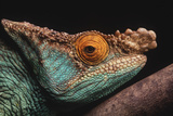 Parson's Chameleon on Branch Reproduction photographique par  DLILLC