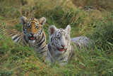 Bengal Tiger Cubs in Grass Photographic Print by  DLILLC