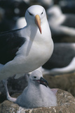 Black-Browed Albatross and Chick Photographic Print by  DLILLC