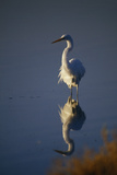 Great Egret and Reflection Photographic Print by  DLILLC