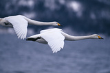 Whooper Swans Flying over Lake Impressão fotográfica por  DLILLC