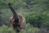 Elephant Pulling Leaves off Tree Photographic Print by  DLILLC
