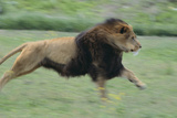 Lion Running in Grass Photographic Print by  DLILLC