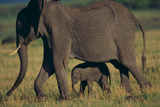African Elephant Calf Walking underneath Mother Photographic Print by  DLILLC