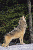 Gray Wolf Howling in Snow Reproduction photographique par  DLILLC