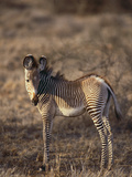 Zebra Foal Photographic Print by  DLILLC