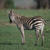 Burchell's Zebra Photographic Print by  DLILLC