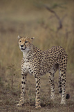 Cheetah in Grass Photographic Print by  DLILLC