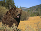 Grizzly Bear Roaming in Mountain Meadow Photographic Print by  DLILLC