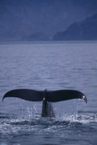 Sperm Whale Fluke Photographic Print by  DLILLC