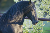 Peruvian Paso Stallion by Fence Reproduction photographique par  DLILLC