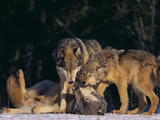 Gray Wolves Showing Submission Photographic Print by  DLILLC