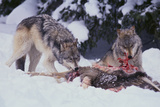 Gray Wolves Feeding on Deer Carcass Photographic Print by  DLILLC