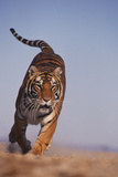 Bengal Tiger Running Photographic Print by  DLILLC
