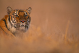 Bengal Tiger Lying in Field Photographic Print by  DLILLC