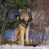 Gray Wolf in Trees Photographic Print by  DLILLC