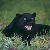 Black Panther Sitting in Grass Fotografisk tryk af  DLILLC