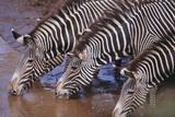 Zebras Drinking Photographic Print by  DLILLC