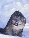 Threatened Snow Leopard Photographic Print by  DLILLC