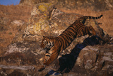 Bengal Tiger Jumping from Boulder Photographic Print by  DLILLC