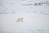 Polar Bear on Sea Ice Photographic Print by  DLILLC