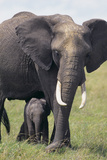 Bull Elephant and Baby Photographic Print by  DLILLC