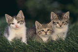 Kittens Sitting in Grass Reproduction photographique par  DLILLC