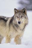 Loup gris dans la neige Reproduction photographique par  DLILLC