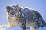 Snow Leopard Covered in Snow Photographic Print by  DLILLC