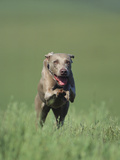 Galloping Weimaraner Photographic Print by  DLILLC