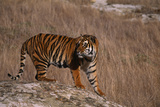 Bengal Tiger Standing on Boulder Photographic Print by  DLILLC