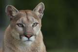 Mountain Lion Photographic Print by  DLILLC